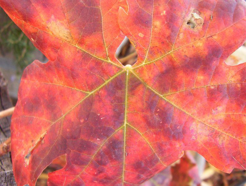 Bright red leaf