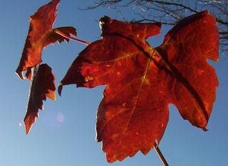 Red winter leaf